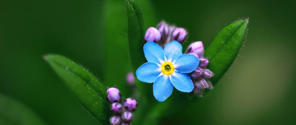 Wallflower Blossoming