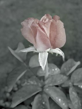 the-faded-rose-robert-meanor